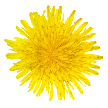 Dandelion flower on a white background photo