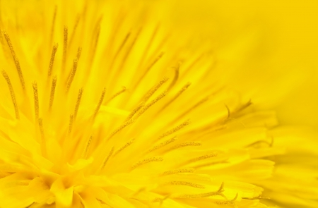 Close up of yellow dandelion flower photo