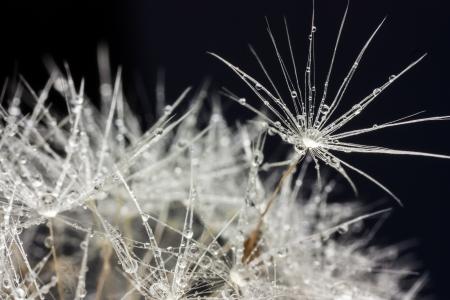 morning dew drops on dandelion fluff