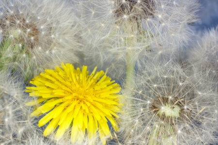 blooming yellow dandelion between mature photo