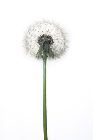 conjugation: dandelion isolated on white background Stock Photo