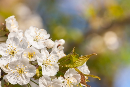 beautiful spring flowering fruit tree