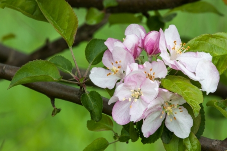 fruit tree branch with spring flowers Stock Photo