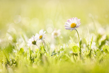 close up of daisy in green grass