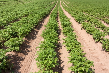 potato line in the field Stock Photo