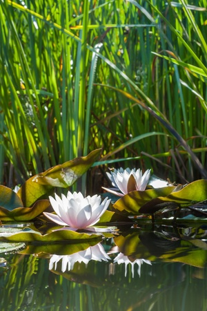 White lotus flowers on the pond