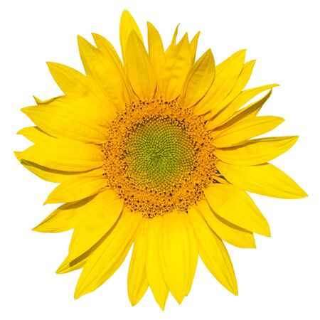 flower sunflower isolated on white background photo