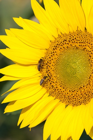 two bees pollinating golden sunflowers photo