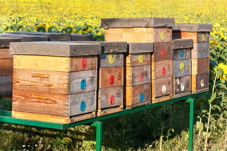 apiary: summer apiary in sunflower field Stock Photo