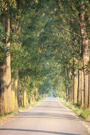 avenue of poplars along the road