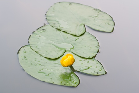 florae: view on the leaves Nuphar lutea