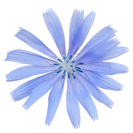 chicory flower: close chicory flower isolated on white background Stock Photo