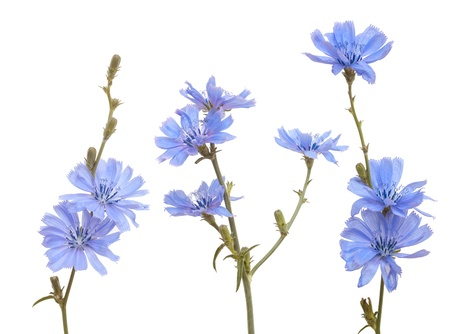 group of blue chicory on white background