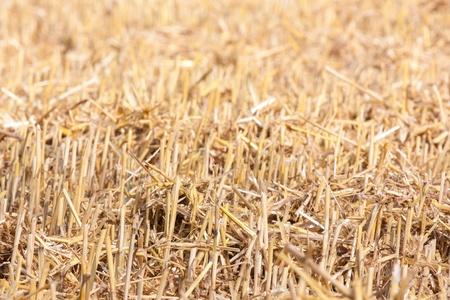 close up of mowed stubble corn field Stock Photo