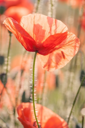 poppies in the morning sun photo