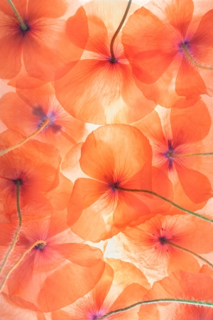 beautiful view of wild poppy flowers Stock Photo - 21956379