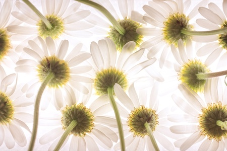 Bottom view of daisy flowers Stock Photo - 21956400