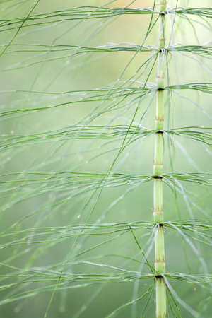 close up of horsetail stem on a green background photo