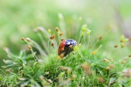 ladybug in green dewy moss Stock Photo