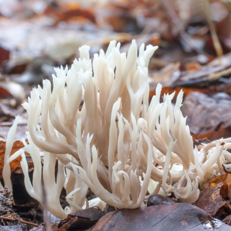 fungi woodland: white coral fungus in brown leaves