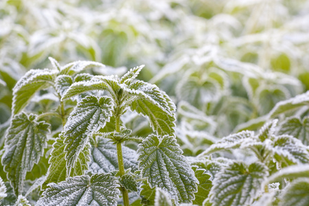 Green nettle after the morning frost photo