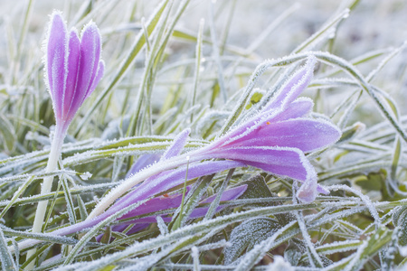 colchicum autumnale: Morning frost on a flower colchicum autumnale Stock Photo