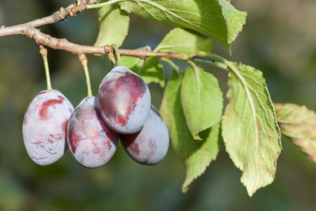 ripened plums on a tree branch photo