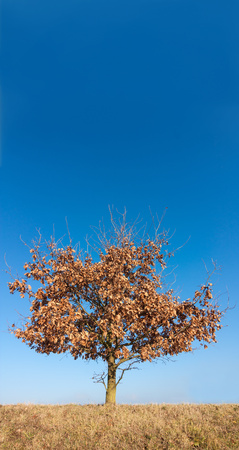 deciduous tree with blue sky background Stock Photo