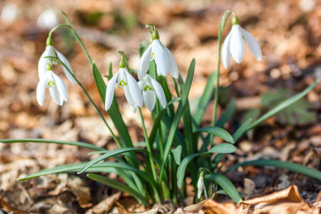 galanthus: Close up of snowdrops -  arrival of spring
