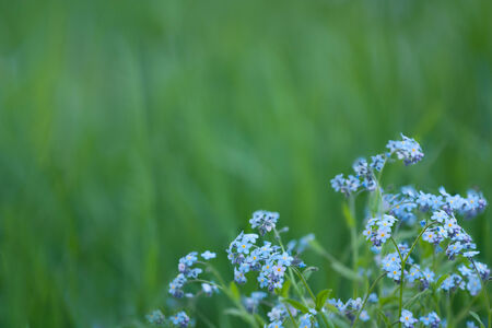 forget-me-not on green background meadow photo