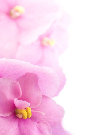 Close up of an African violet photo