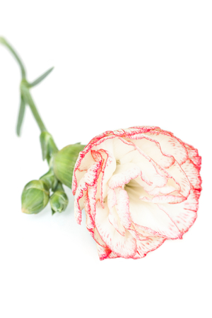 carnation flower on a white  Stock Photo