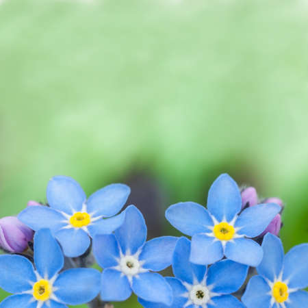 beauty of blue flowers forget-me