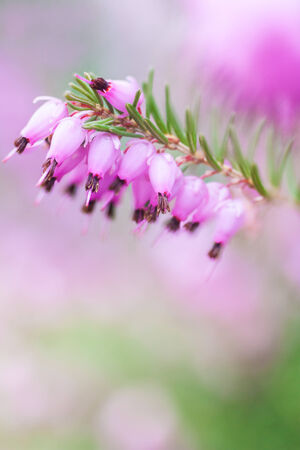 Close up of beautiful purple heather flowers photo