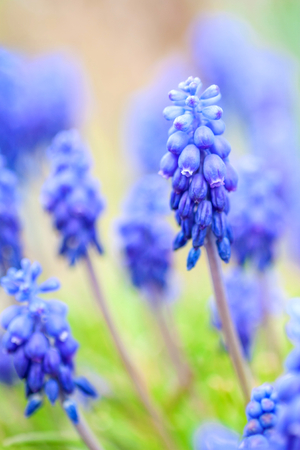 beauty of blue muscari flowers
