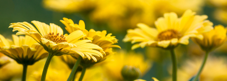 doronicum orientale - yellow spring beauty photo