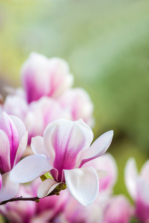 Close up of pink magnolia blossoms