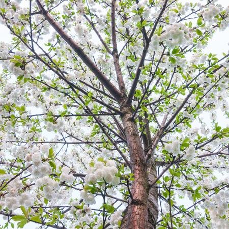 view on blossom tree cherries photo