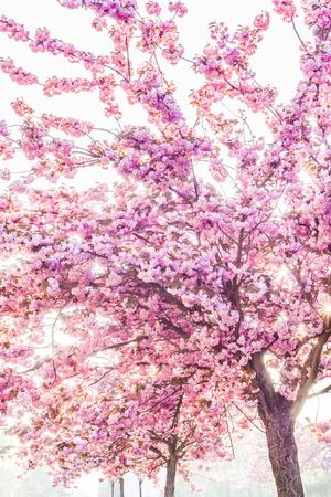 Spring pink beauty of ornamental cherries photo
