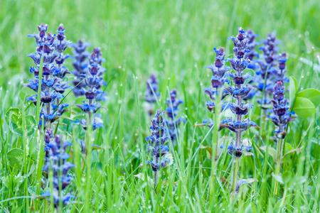 bugle: Blue beauty of flowers upright bugle Stock Photo