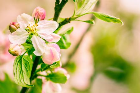 Beautiful flowers of apple tree Stock Photo