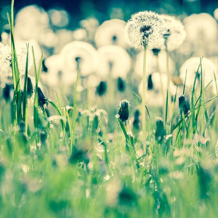 fluff: diente de le�n fluff en un prado verde Foto de archivo