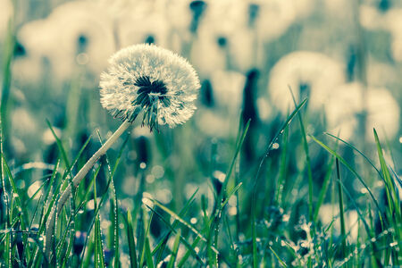 fluff dandelion on a green meadow