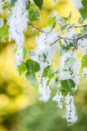 white fluff of flowering poplar