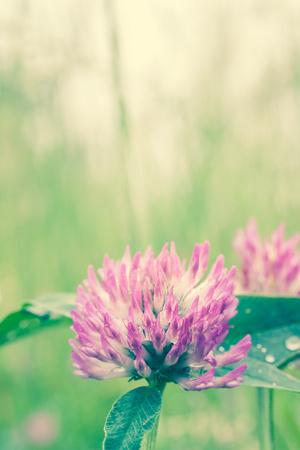 Close up of beautiful purple clover flower photo