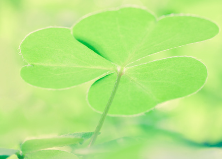 Beautiful green leaf oxalis acetosella photo