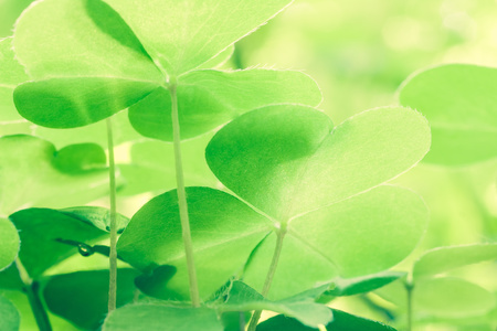 acetosella: Beautiful green leaf oxalis acetosella Stock Photo