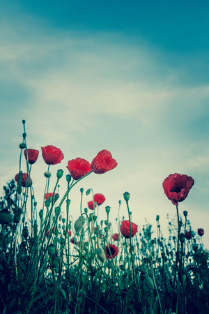 vintage poppies with blue sky