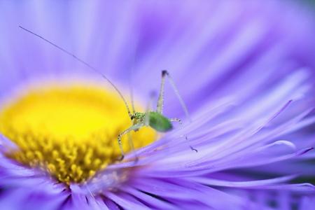 green grasshopper on purple asters bloom Imagens