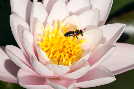 lilia: bee on a white water lily Stock Photo